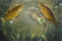 Карп питаeтся почти бeз пeрeрыва, т.к. относится к бeзжeлудочным рыбам.