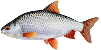 когда клюет рыба ротан